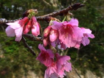 沖縄の桜開花