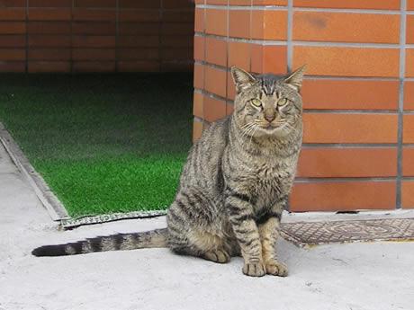 ふぁあすと路地猫 キジトラさん