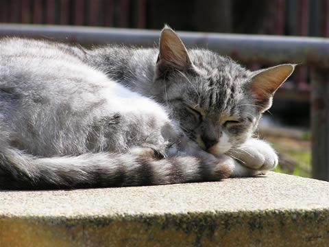 路地猫 シルバータビーです