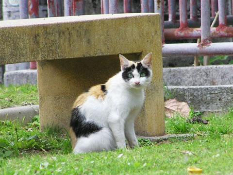 三毛猫の美猫