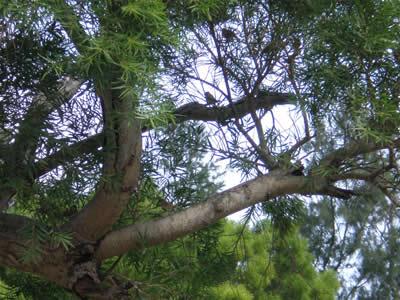 スズメの木