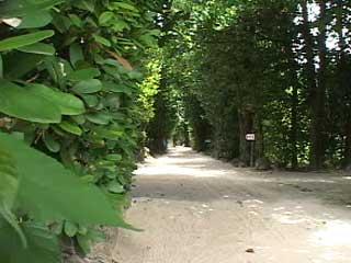 備瀬(ビセ)のフクギ並木