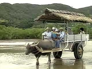 由布島の水牛