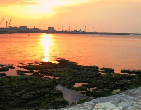 那覇空港の向こうに沈む夕陽・・・・・・とキジバト